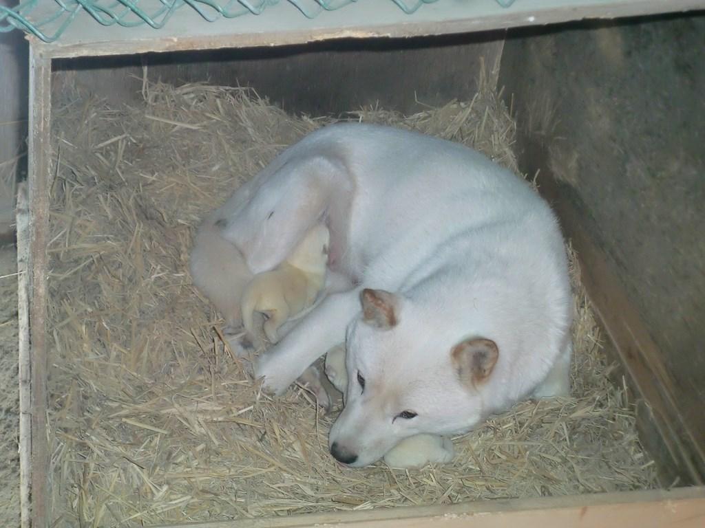 母犬のハルと生後二日目の白オス兄弟です。(12月17日撮影 生後2日目)