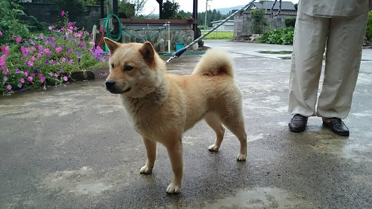 母犬の朱利桜は保存会支部展等で優勝歴を持つ優秀犬です。