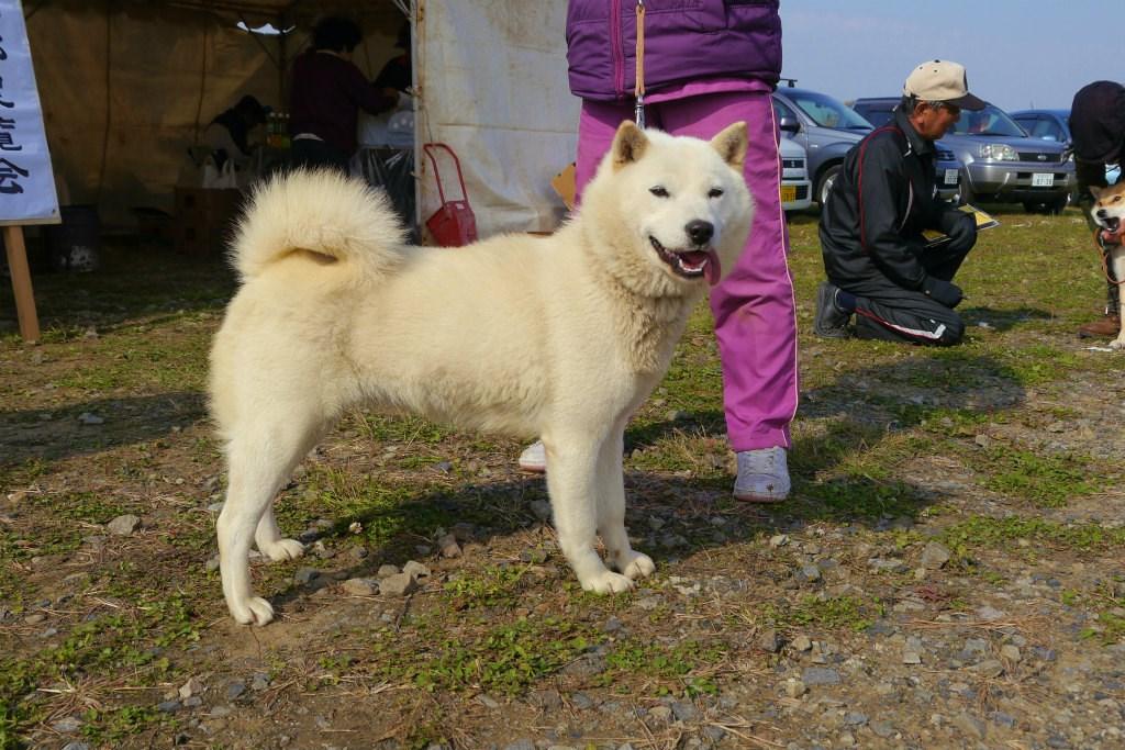 母犬のウミは本部獣猟競技会で優勝歴を持つ優秀犬です。
