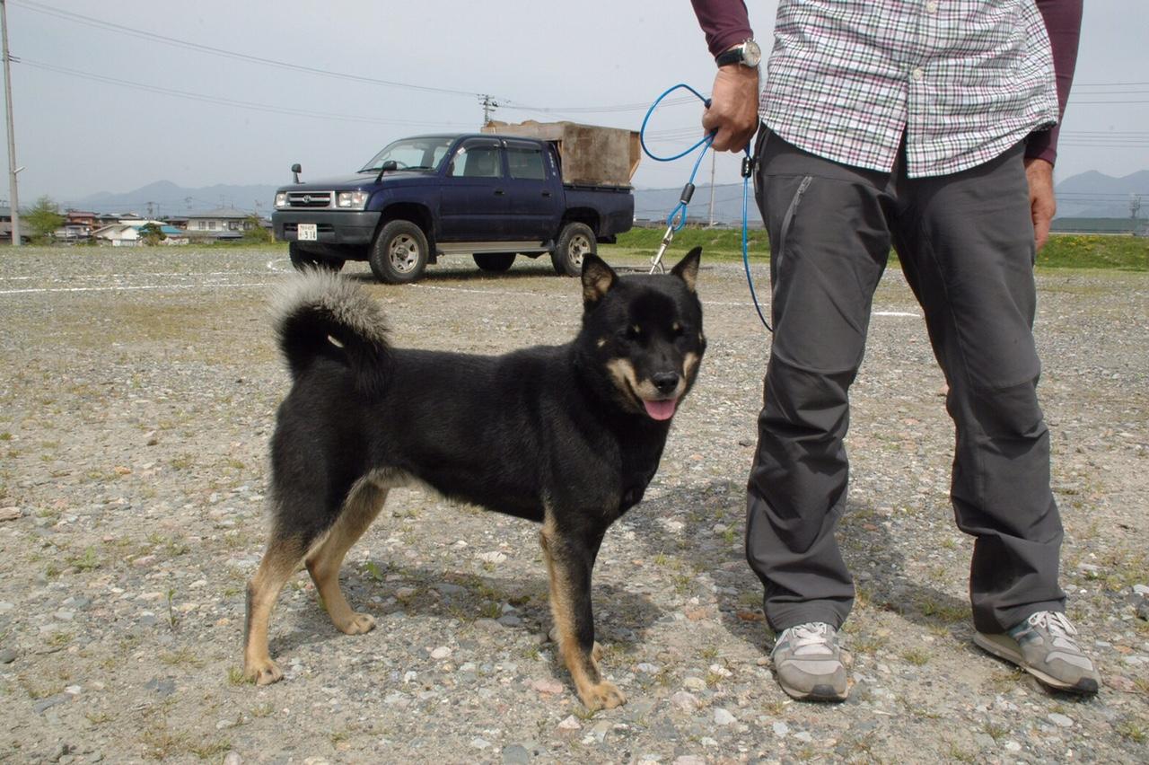 父犬の森田十勝百十七はヒグマ/イノシシ実猟犬繫殖犬舎として著名な十勝森田荘繁殖の北海道犬であります。