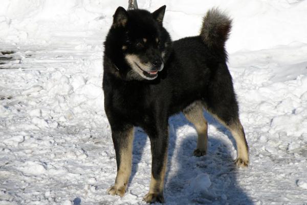 十勝黒皇・釧路森田荘。十勝黒皇はヒグマ六頭を獲った名猟犬です。