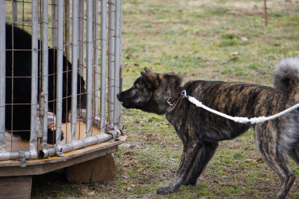 母犬の虎綾女は北海道犬保存会支部獣猟競技大会二戦二勝の優秀犬です。