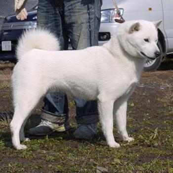 父犬の大吉・穂和荘は本部展/支部展優勝多数の優秀犬であります。