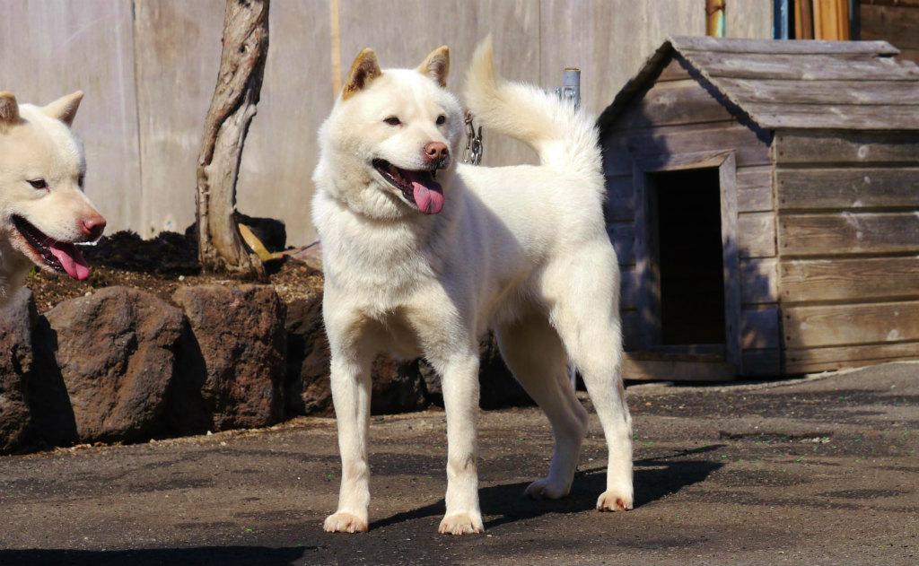 レタル・ピンネシリ杉山犬舎は展覧と獣猟の双方で日本一を獲得した名犬であります。