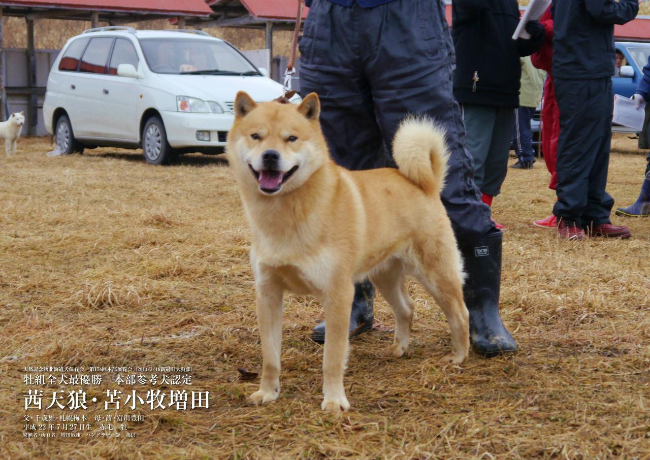 父犬の茜天狼・苫小牧増田は北海道犬日本一を獲得した名犬であります。