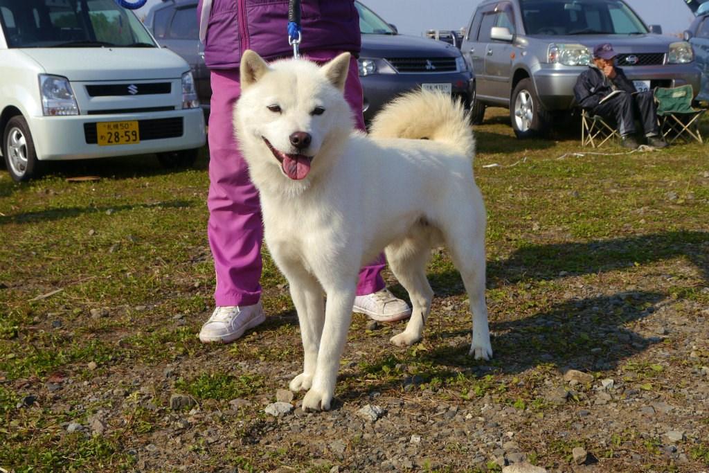 父犬のシロは本部獣猟競技会で優勝歴を持つ優秀犬であります。
