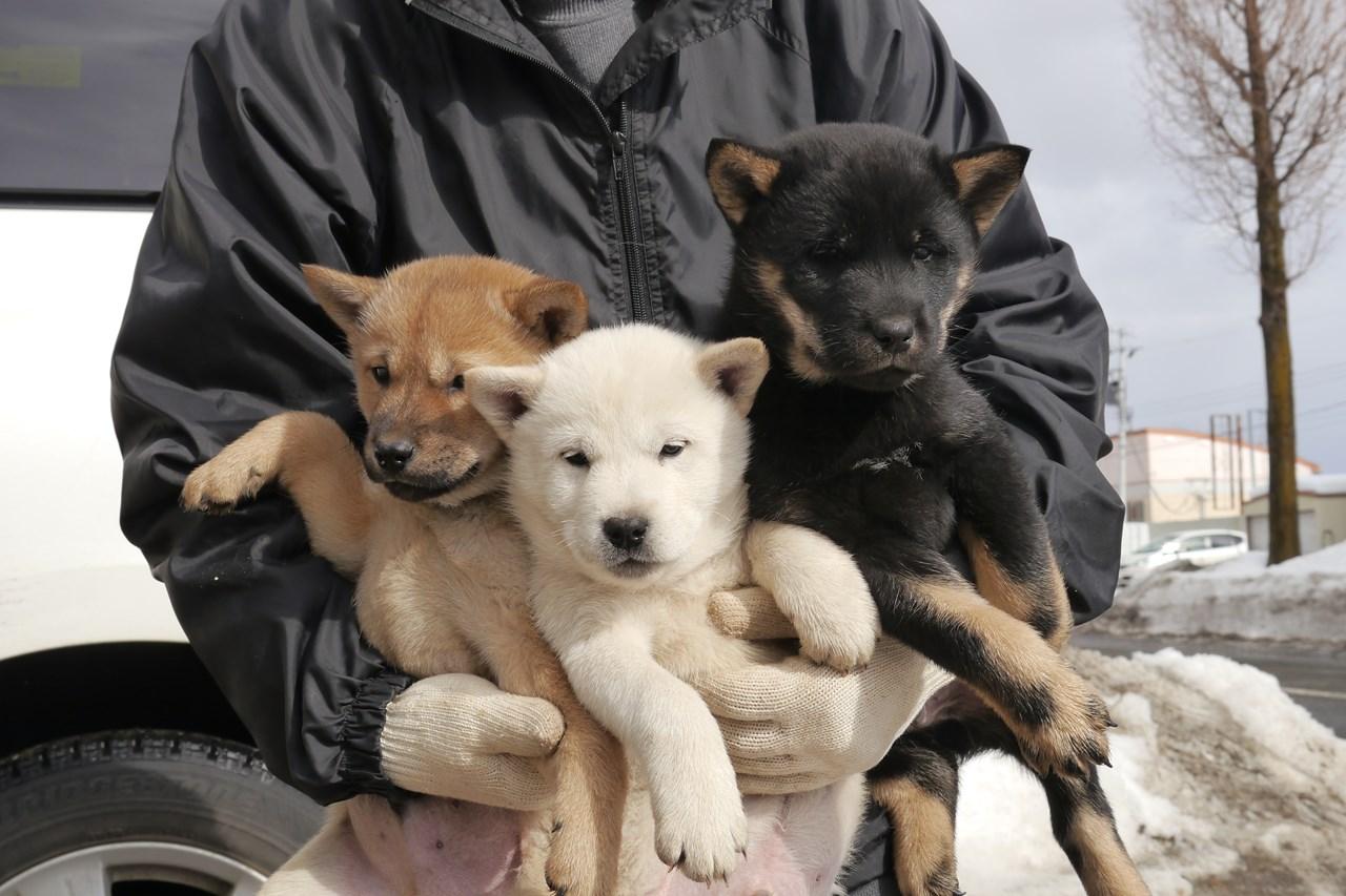 順調に育っている三色の兄弟。黒褐/オスが譲渡対象です。白と赤は飼い主さん決定済みです。(2月15日撮影 生後45日目)