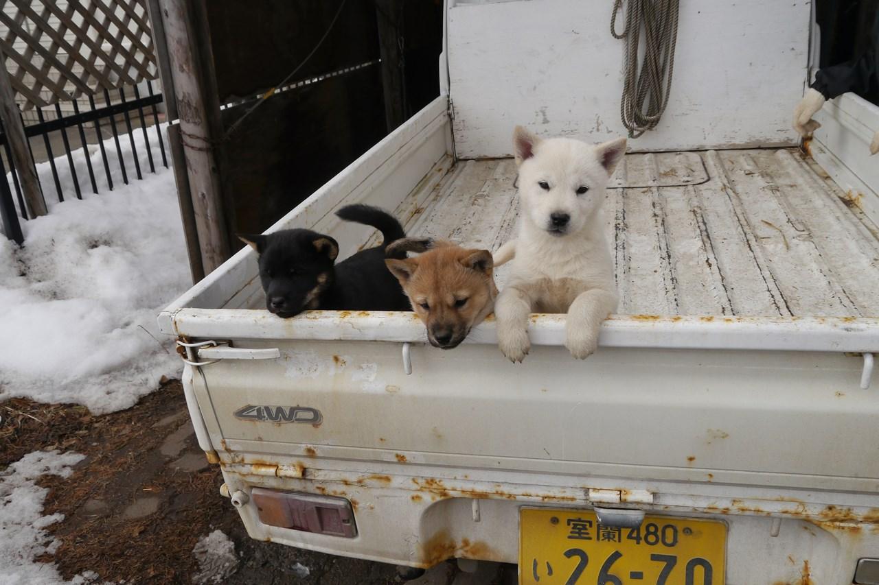 軽トラ荷台で三匹揃い踏み。黒褐/オスが譲渡対象です。白と赤は飼い主さん決定済みです。(2月15日撮影 生後45日目)