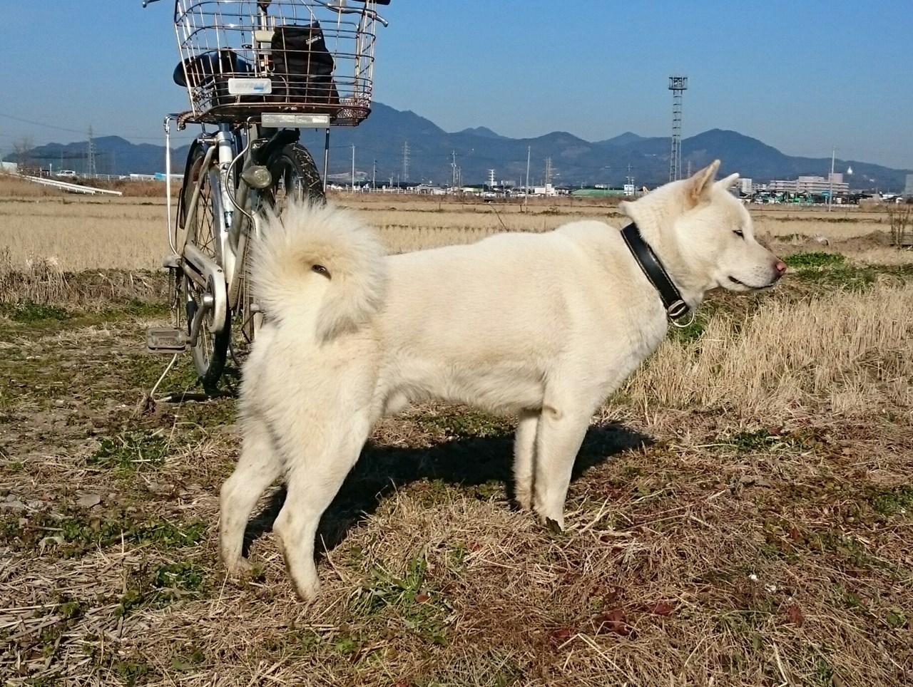 子犬の兄犬にあたる政宗(白毛/オス 熊本在住)。政宗は北海道犬協会の展覧会で優秀な成績を残しています。