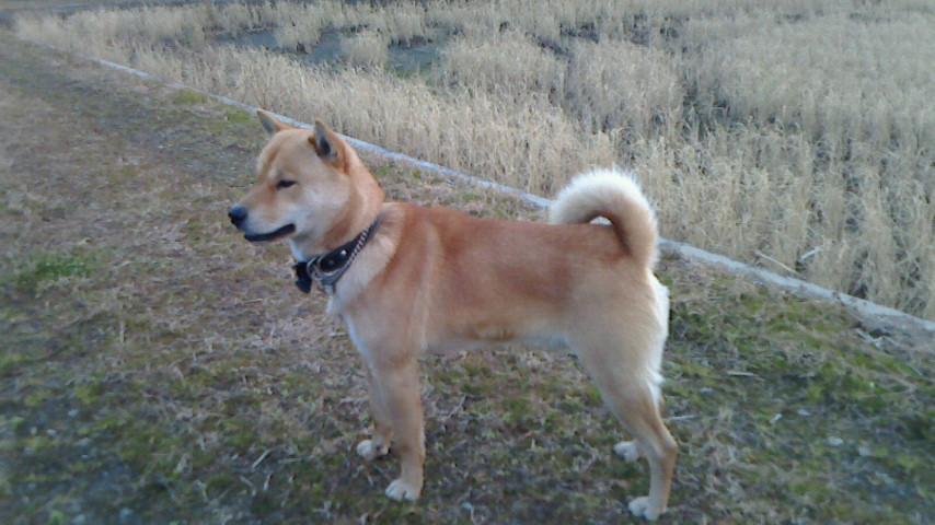 子犬の兄犬に当る太陽(赤毛/オス 松阪市在住)。太陽は北海道犬協会の展覧会で優秀な成績を残しています。