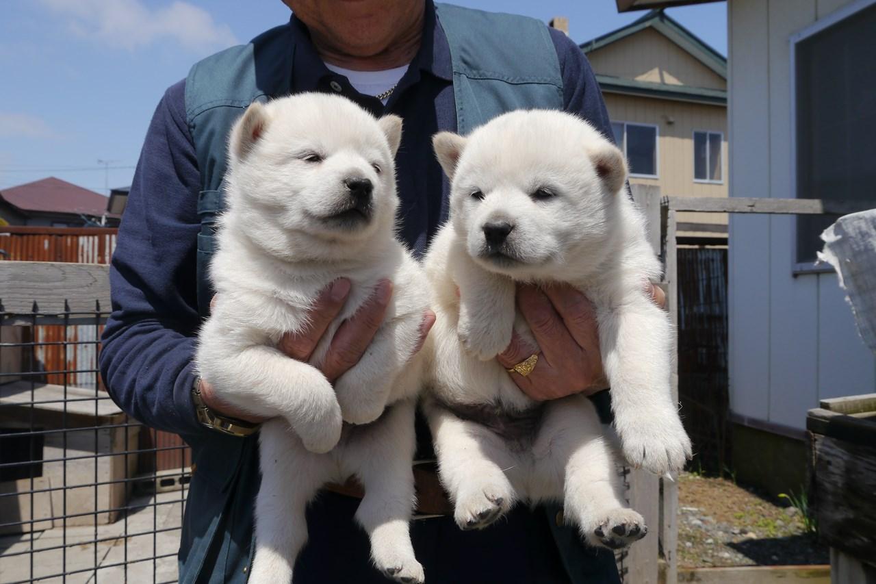 白毛/オスです。譲渡対象は向かって右側の子犬です。(5月12日撮影 生後29日目)