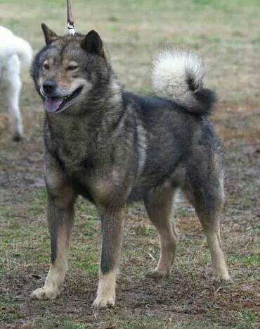 子犬の父の宗龍(越乃柄沢)は平成24年北海道犬協会で日本一を獲得した名犬です。ご覧のとおり見事な胡麻毛であります。