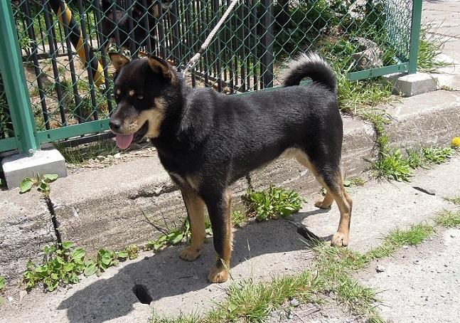 父犬の十勝森田百十六・十勝森田荘。猟犬として優秀な一族です。