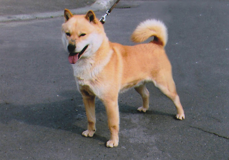 父犬の北熊は協会支部展優勝多数の優秀犬であります。
