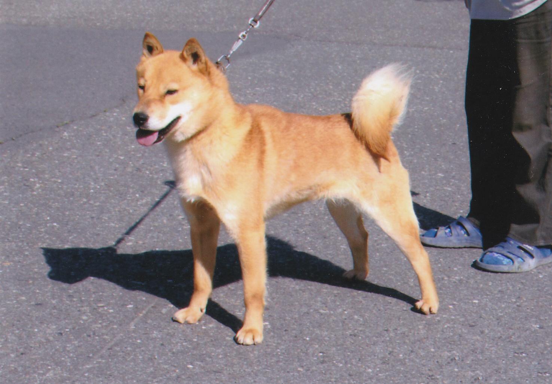 母犬の阿久媛は希少な千歳系血量100%の繁殖牝です。