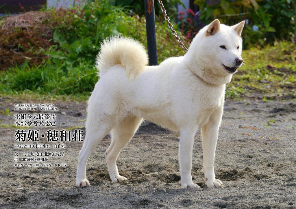 子犬の母方の祖母の菊姫・穂和荘は北海道犬日本一を獲得した名犬であります。