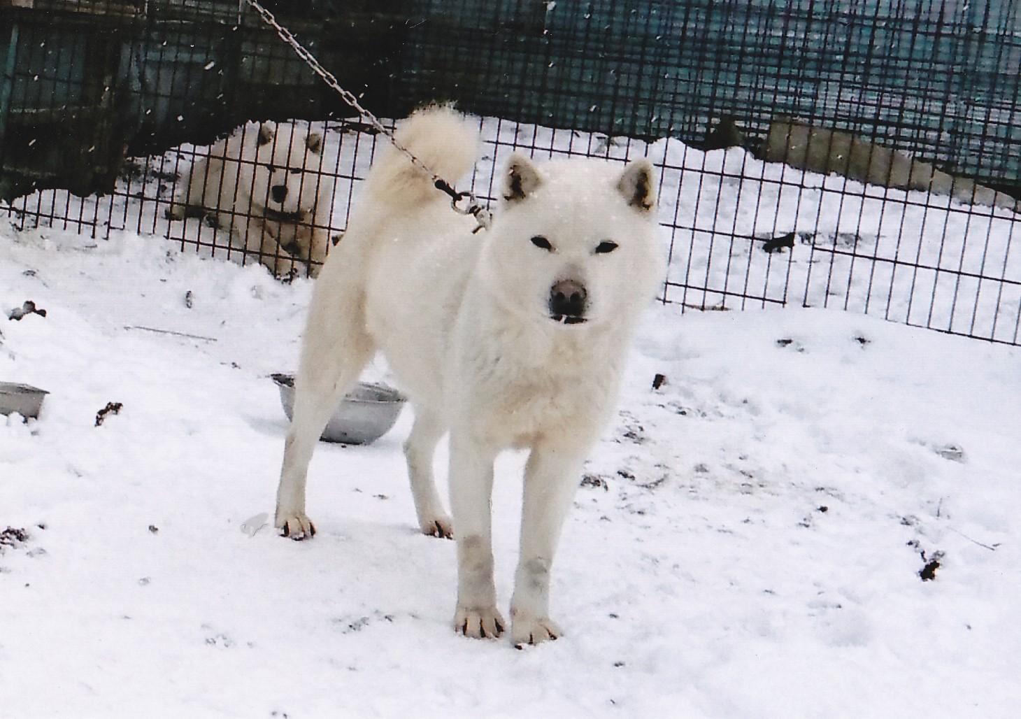 子犬の父である八十九天山・鵡川三上の父犬は北海道犬日本一に輝いた雄太・鵡川三上です。