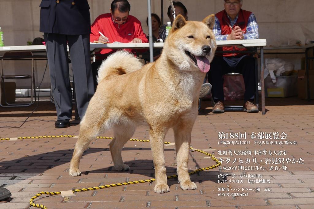 母犬の母 キタノヒカリは千歳系で、今春の本部展で日本一を獲得した名犬です。