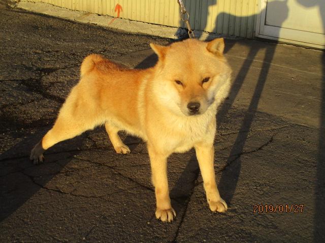 父犬の十勝森田百十六は十勝森田荘の猟犬の血に千歳系の血を導入した、新進の種牡犬です。