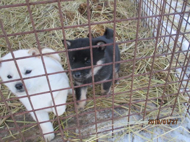 犬舎での黒褐/オス 兄妹犬の白メスと一緒です。(1月27日撮影 生後43日目)