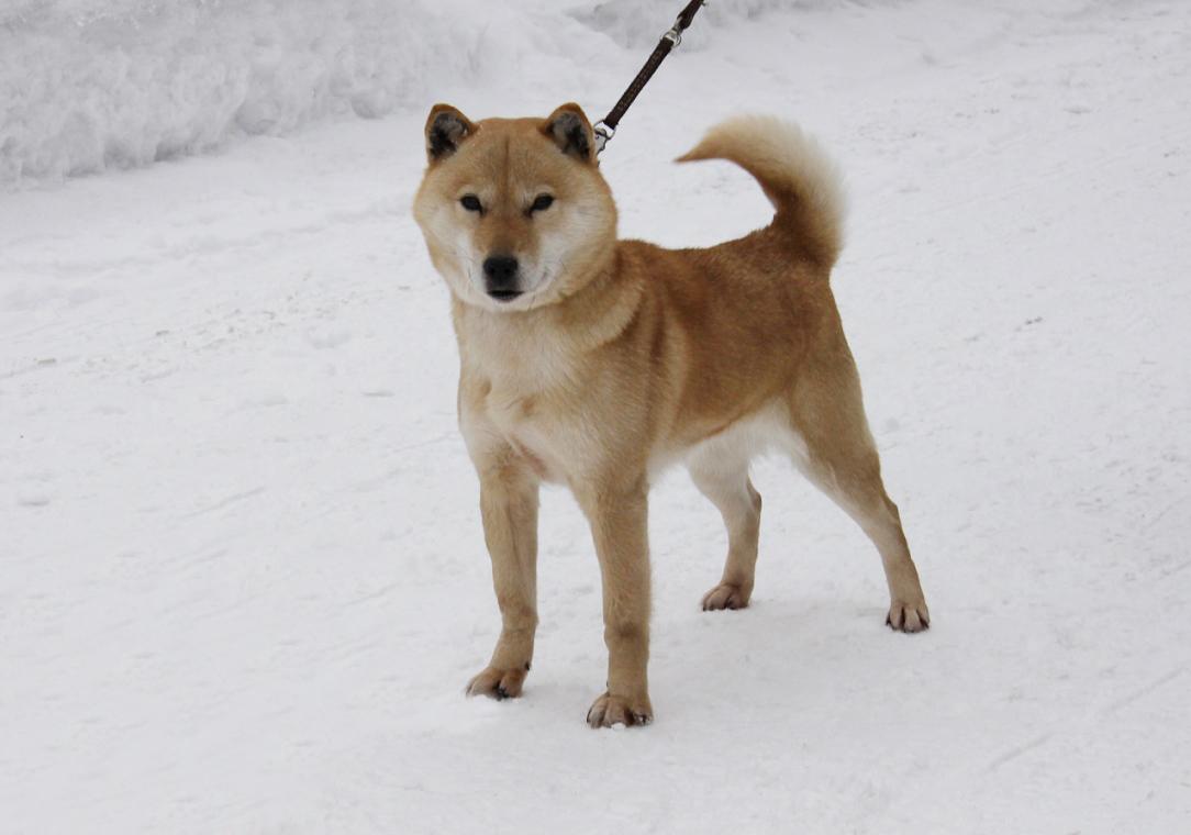 子犬の母犬のノンノ・ピンネシリ杉山犬舎 良血の繁殖牝であります。
