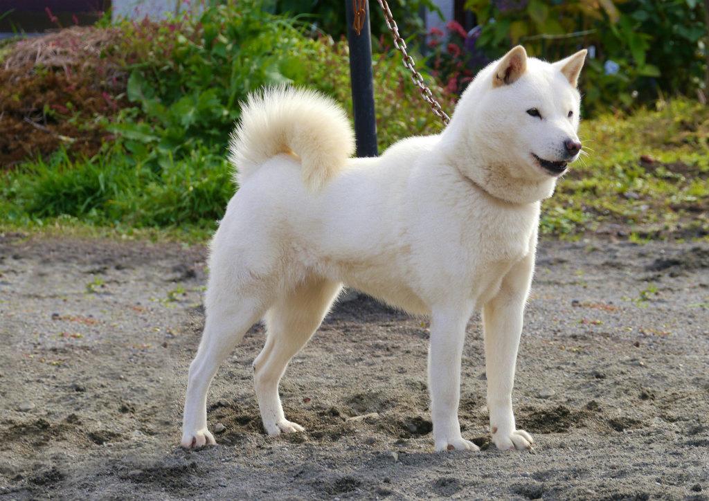 子犬の母方の祖母 菊姫は平成26年秋の本部展で牝日本一を獲得した名犬です。