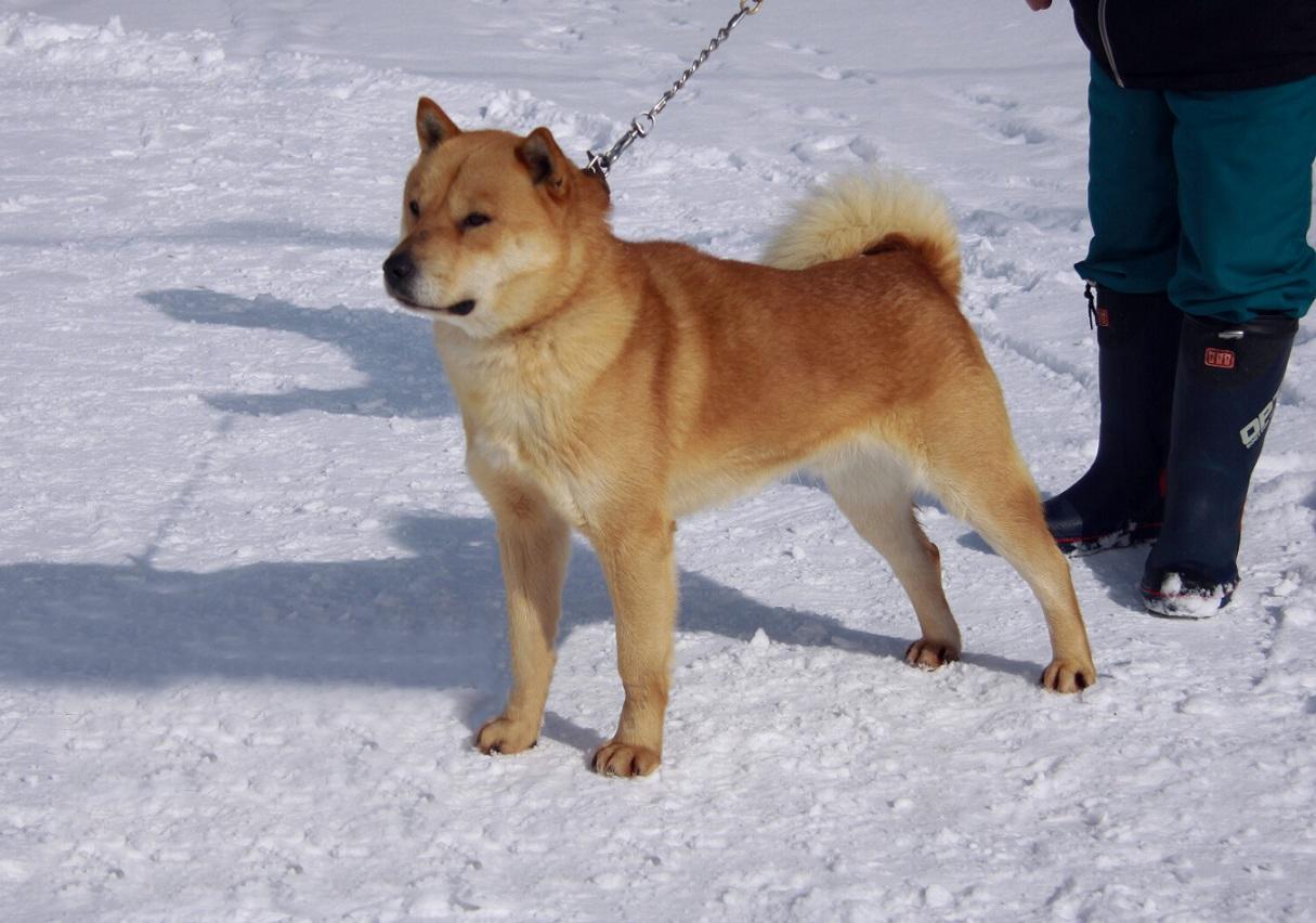 子犬の父犬の阿希雄は優れた血筋の千歳系統の種牡犬であります。